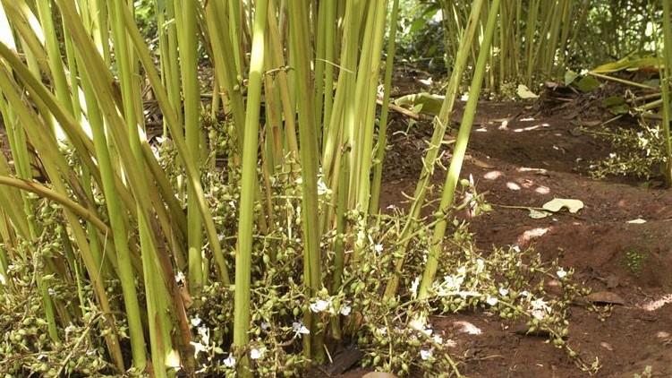 cardamom cultivation Idukki drying