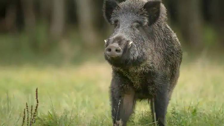 wild boar attack during kerala election