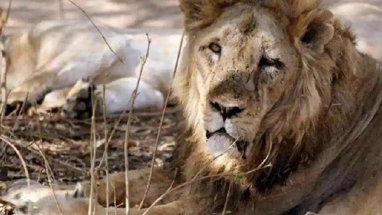 Zoo Lions SARS Covid