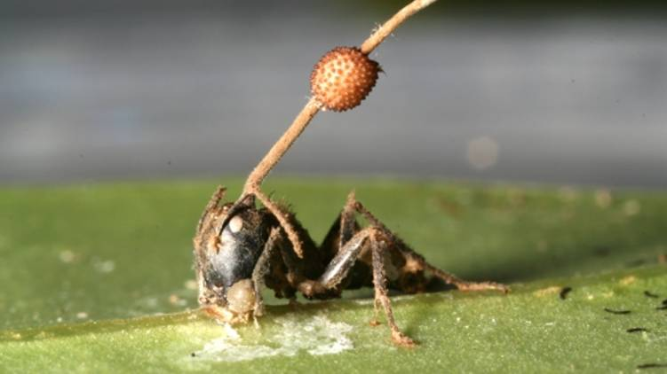 zombie fungus in ants