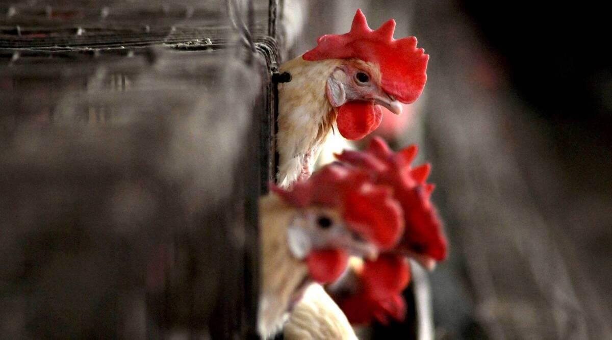 11 year old died bird flu BIRD FLU CHICKEN