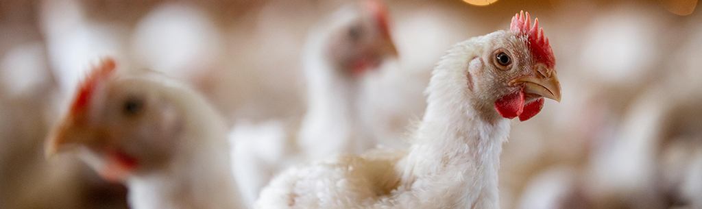 kozhikode bird flu suspected