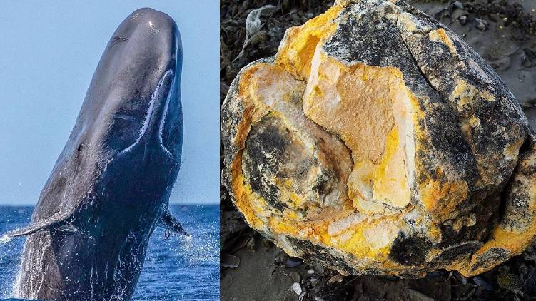 what is whale vomit ambergris 24 explainer