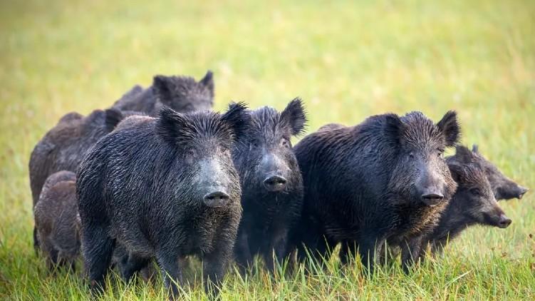 permit farmers to kill wild boar