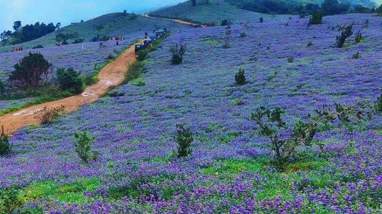 Neelakurinji flowers bloom kodagu
