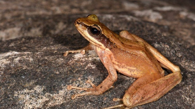 new species frog Arunachal