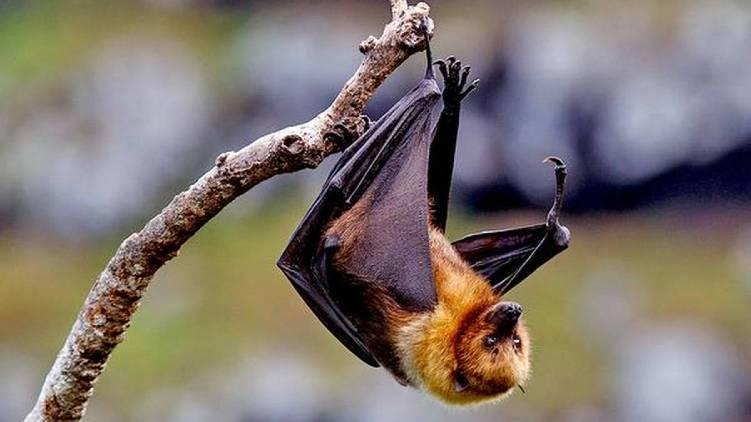nipah bat samples