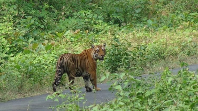 don't kill nilgiri tiger madras HC